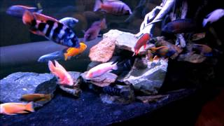 getlinkyoutube.com-150 Gallon All Male African Cichlid Tank