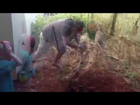 Yamadori Pitangueira para futuro bonsai