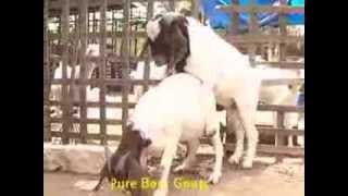 getlinkyoutube.com-Boer Goat farming - India - Vijay Farms - www.boerindia.com
