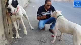 اكثر كلبين عندي يكرهون بعض الدوجو الارجنتينو والجريت دان يجب مصالحتهم مع جمال العمواسي