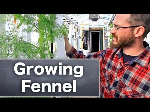 Herbs & Vertical Farming: Fennel - Bright Agrotech
