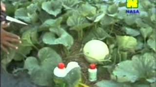getlinkyoutube.com-Teknis Budidaya Melon | Budidaya Secara Menghampar ala Semangka (7 dari 7)