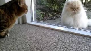 getlinkyoutube.com-Bengal cat vs. Persian cat (behind the glass)