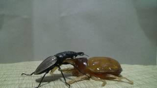 getlinkyoutube.com-巨大昆虫が共食い新しい食物連鎖|Insects' feeding chains