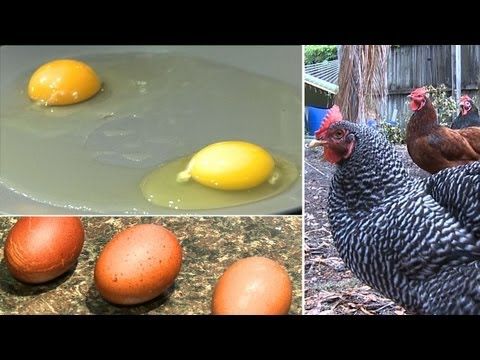 Do eggs from backyard chickens really taste better?
