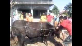 getlinkyoutube.com-Cara menjatuhkan sapi yang benar, saat mau dipotong