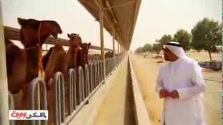 getlinkyoutube.com-الإبل في الإمارات تنتج الألبان والأجبان والحليب بالشوكولاته