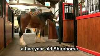 getlinkyoutube.com-The Shire Horse, grooming and tacking