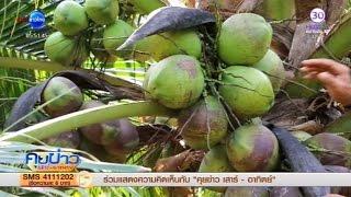 getlinkyoutube.com-ปลูกมะพร้าวน้ำหอมให้ลูกดก น้ำหอมหวาน ออกลูกทั้งปี