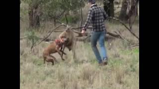 Mann schlägt einen Känguru!