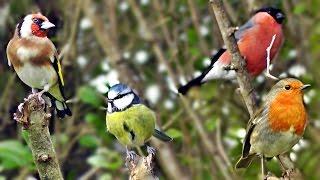 getlinkyoutube.com-Beautiful Birds Chirping & Singing in The Hedge - Robin & More Bird Song & Sounds