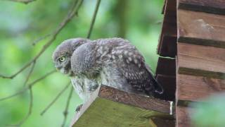 getlinkyoutube.com-Little Owls