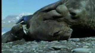 getlinkyoutube.com-Male elephant seals defend territory - David Attenborough - BBC wildlife
