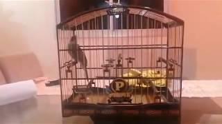 getlinkyoutube.com-Trinca ferro Prime 28 a 36 cantos no minuto