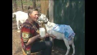 getlinkyoutube.com-Как доить козу? Урожайные грядки.