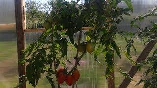 getlinkyoutube.com-Как вырастить ранние томаты.  Помидоры в бочках