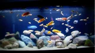 getlinkyoutube.com-75 Gallon Cichlid Tank (Feeding Time)