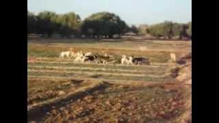 """getlinkyoutube.com-الريش: الكلاب الضالة تهاجم  """"حمار""""  بحي  إليغن 2013/02/08"""