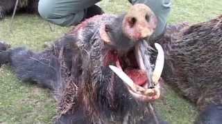 driven wild boar hunt (Monteria) in Spain / Treibjagd in Spanien / drevjakt i Spanien (JR Hunting)