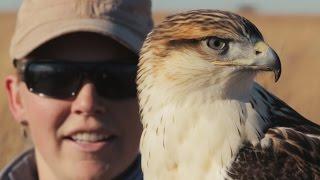 Ferruginous Hawk Falconry