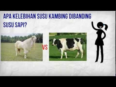 Supplier Susu Kambing Etawa GMP Nutri, 0812.3365.6355 (Simpati)