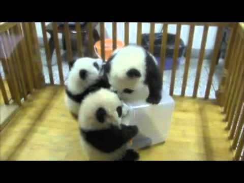 Thumbnail image for 'My post-election promise kept, cute baby panda video found'