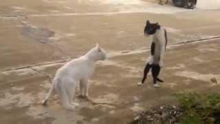 getlinkyoutube.com-Gatti che fanno ridere!®