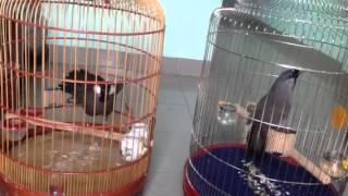 getlinkyoutube.com-Songbirds & Birds of prey | Khướu bạc má hót hay & trận đấu 10 phút của 2 em