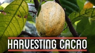getlinkyoutube.com-Harvesting Cacao | How to Make Everything: Chocolate Bar