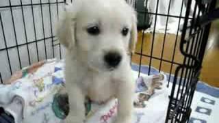 getlinkyoutube.com-ゴールデンレトリバーが我が家に来た日 Golden Retriever puppy