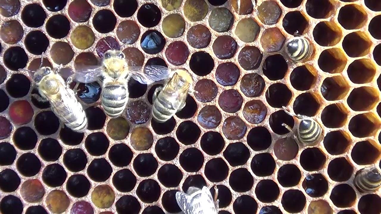 Pčele na ramu sa pergom i medom