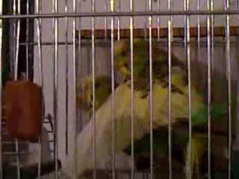 Papagaji Tigrice Parenje