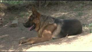 getlinkyoutube.com-Dressage de Chiens en Kabylie