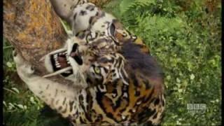 getlinkyoutube.com-Sabre-toothed tiger attack  - Primeval - BBC America