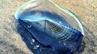 getlinkyoutube.com-Extrañas criaturas aparecen en las costas del mundo