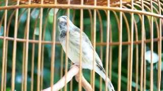 Burung Master : Blackthroat Super Gacor