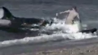 getlinkyoutube.com-KILLER WHALES EAT MAN ON BEACH