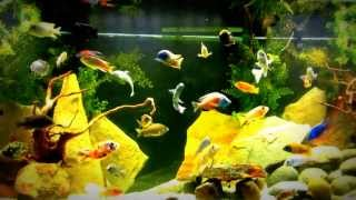 getlinkyoutube.com-What to feed you African Cichlids!