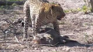 getlinkyoutube.com-Spectacular leopard hunt and kill in Botswana
