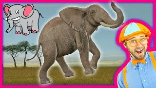 getlinkyoutube.com-Learn about Animals for Toddlers – Funny Zoo Animal Sounds – Elephants with Blippi