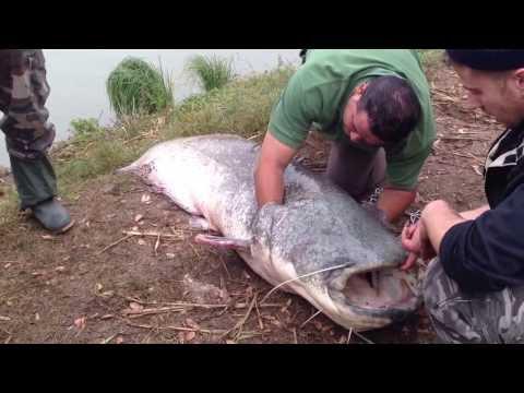 pecanje soma 2 deo tezina 120kg duzina 2 metra i 60cm majstor pecanja GORAN TODOROVIC