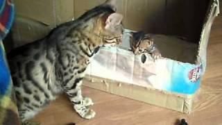 getlinkyoutube.com-bengal cat talking to her kitten - ORIGINAL