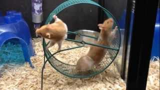 getlinkyoutube.com-Hamster Wheel
