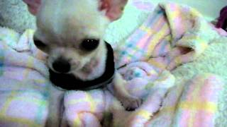 New Member: Chihuahua puppy