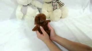 Tiny Micro Apple Red Teacup Poodle Available! So TINY and cute!