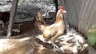 getlinkyoutube.com-gà mái mỹ rặt đẻ tại việt nam