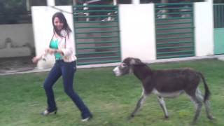 [A Dangerous Donkey Stalker] Video