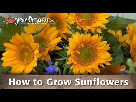 How To Grow Organic Sunflowers