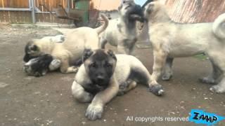 getlinkyoutube.com-Kangal Puppies - Kangal Puppy Fight