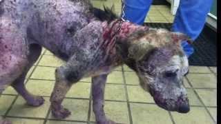 getlinkyoutube.com-จากสุนัขที่รอวันตาย แทบไม่น่าเชื่อกับความเปลี่ยนแปลงที่เกิดขึ้น